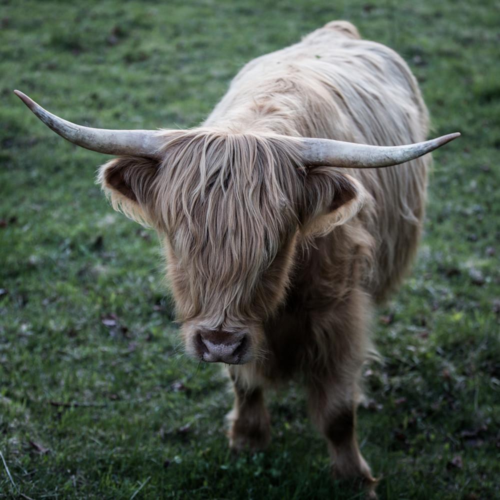 Highland cow no bull plffh9