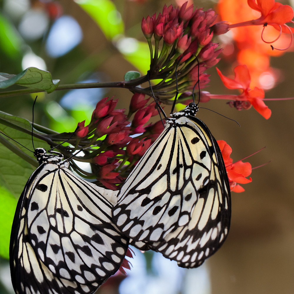 Paper kite butterfly siplaw