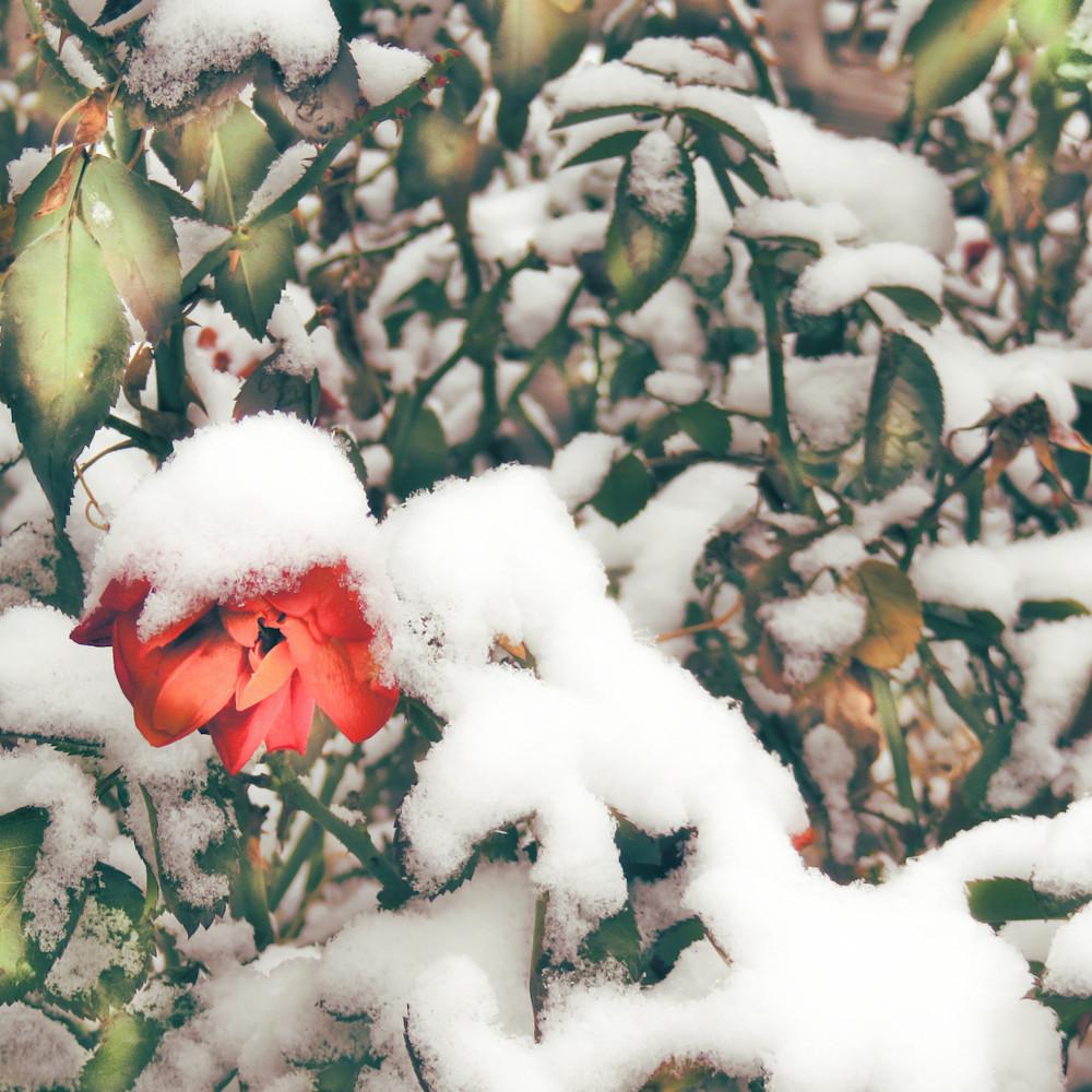 Winter rose warm dz9ify