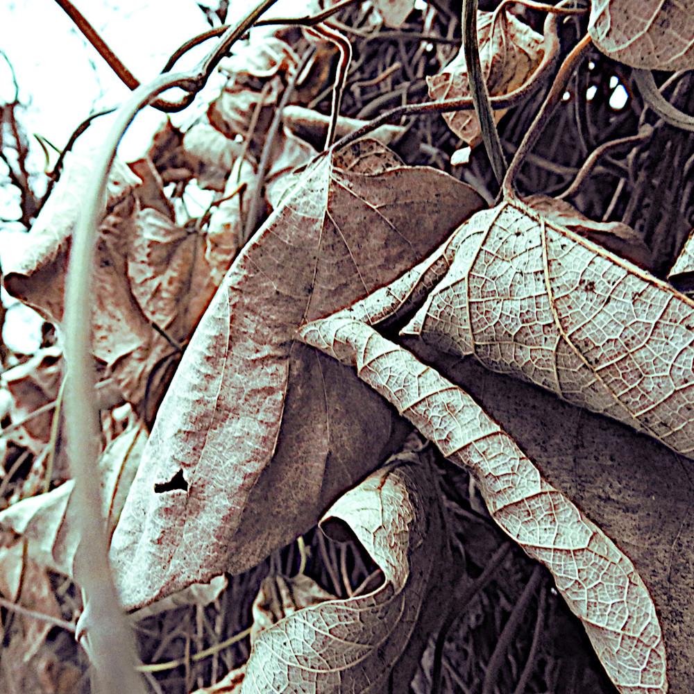 0007 dried on the vine sjoiha