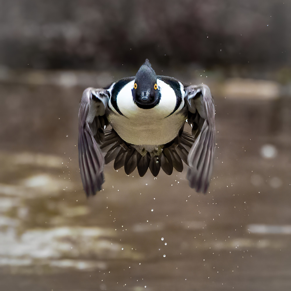 Hooded merganser coming for me partially desaturated khlmbx