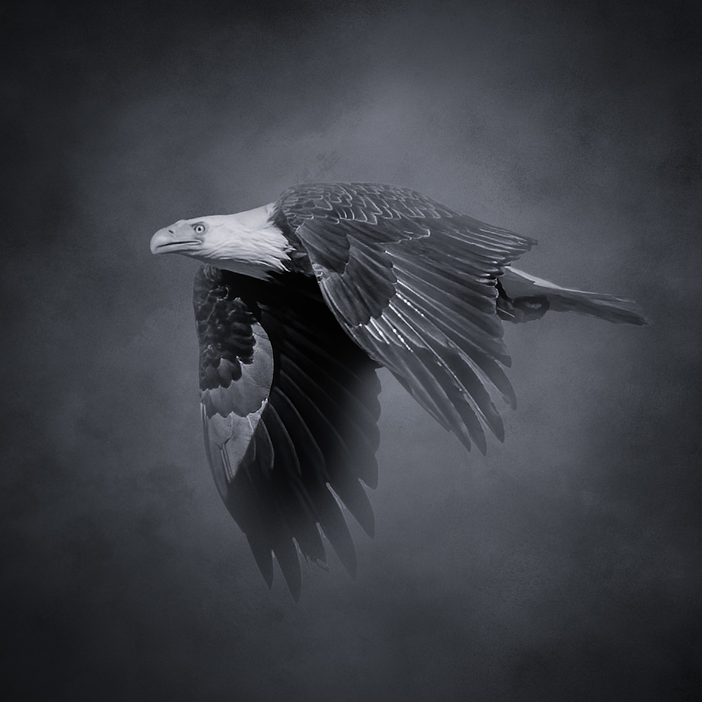 Bald eagle soaring in black and white  square crop q8ereb