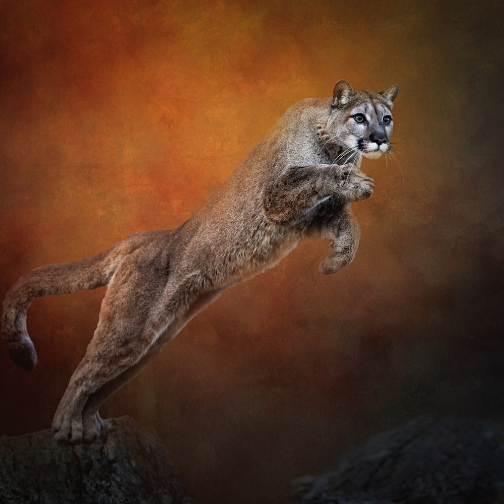 Leaping mountain lion on textured background hmu9qa
