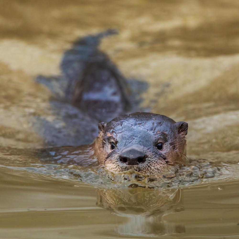 River otter swimming at golden hour vfyx54