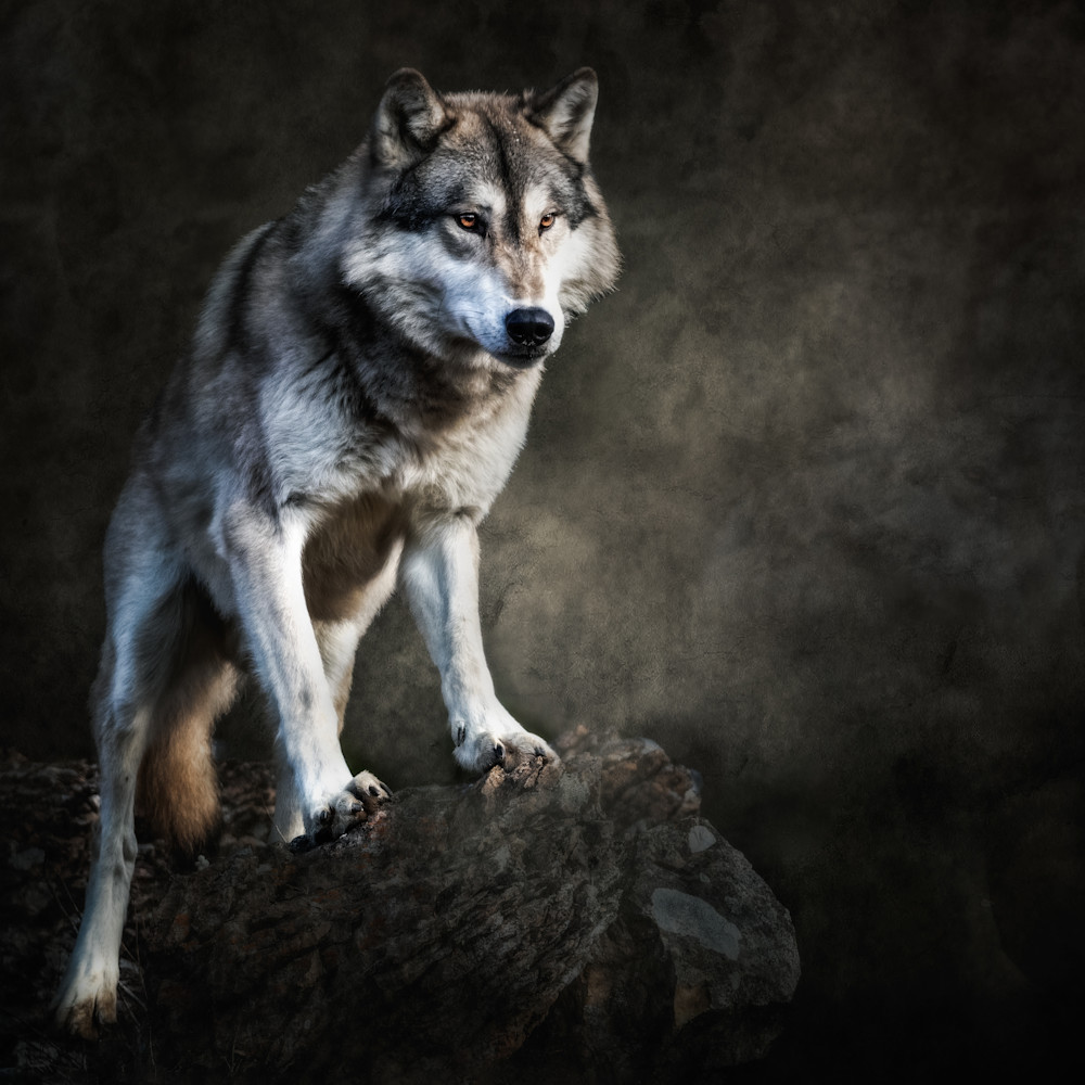 Wolf on boulder with textured background f3nxv8