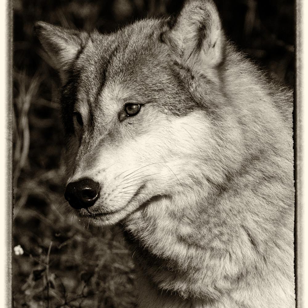 Tundra wolf portrait r0fvzq