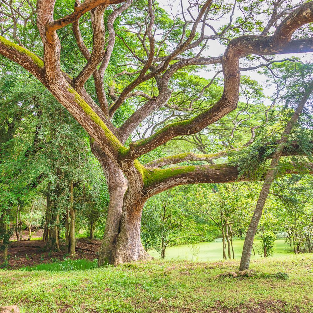 A tree in angkor wat smikyt