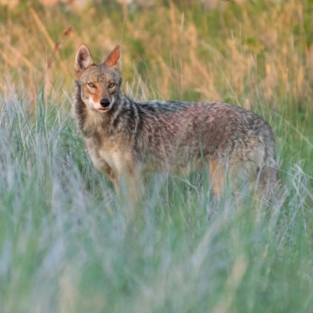 Sunrise coyote vvyyi0
