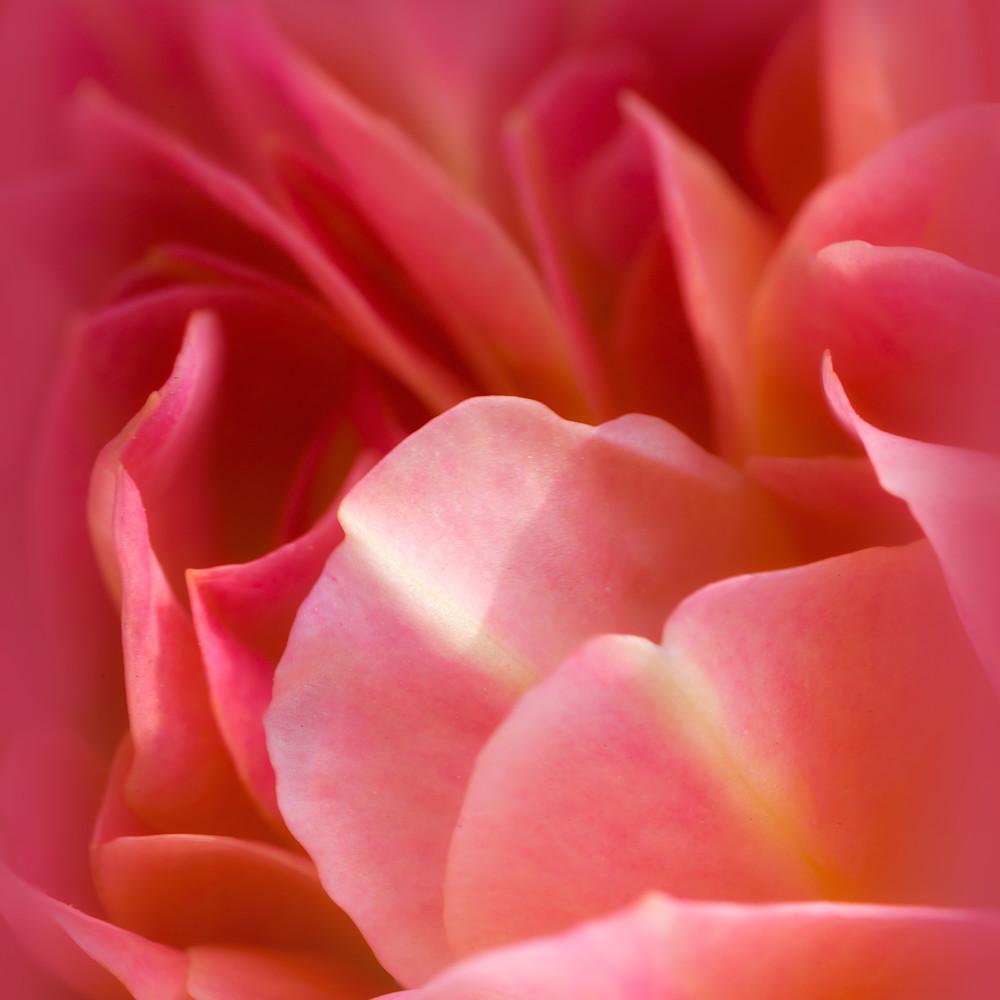 Pink petal perfection  qv0kc9