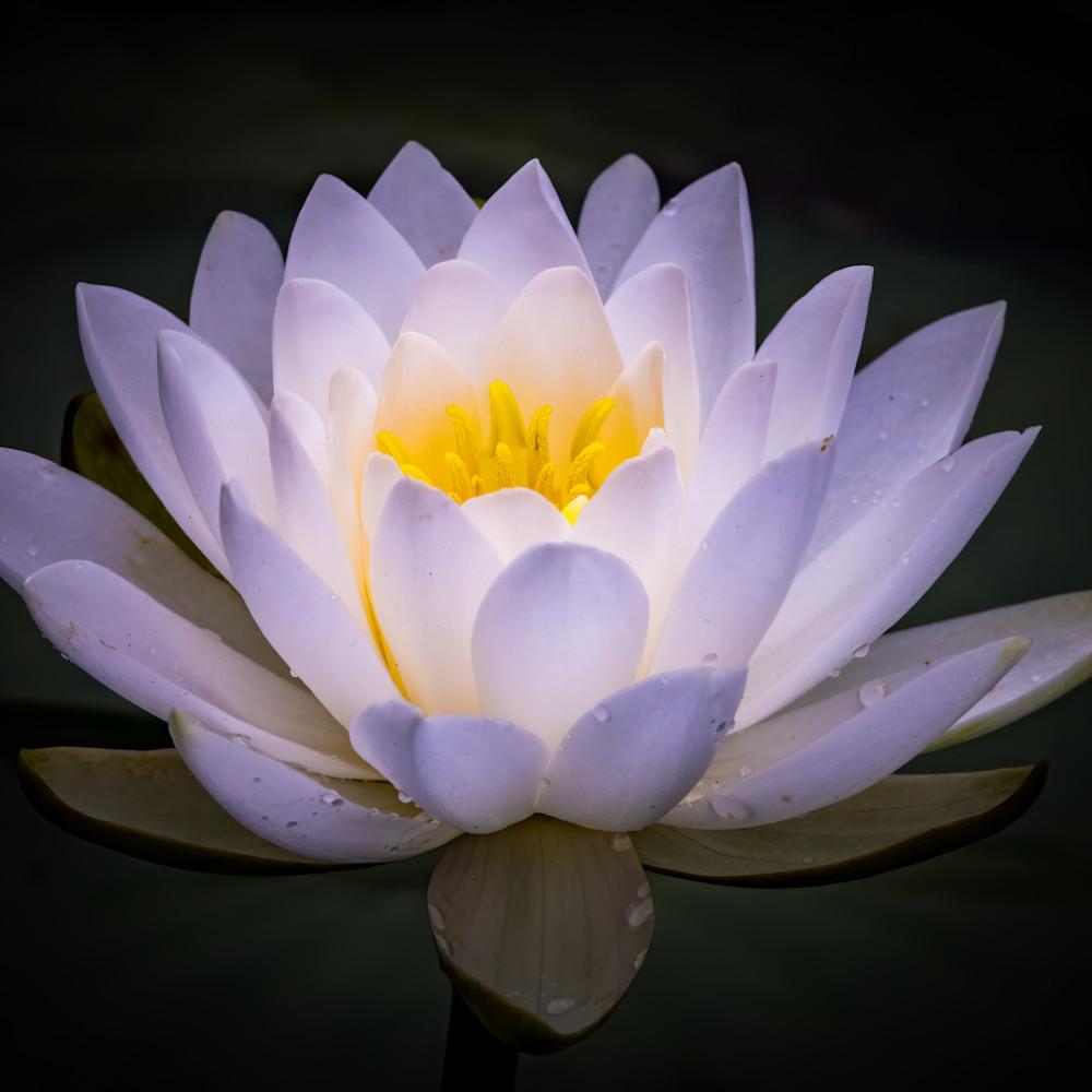 Water lily on dark background zao4sz