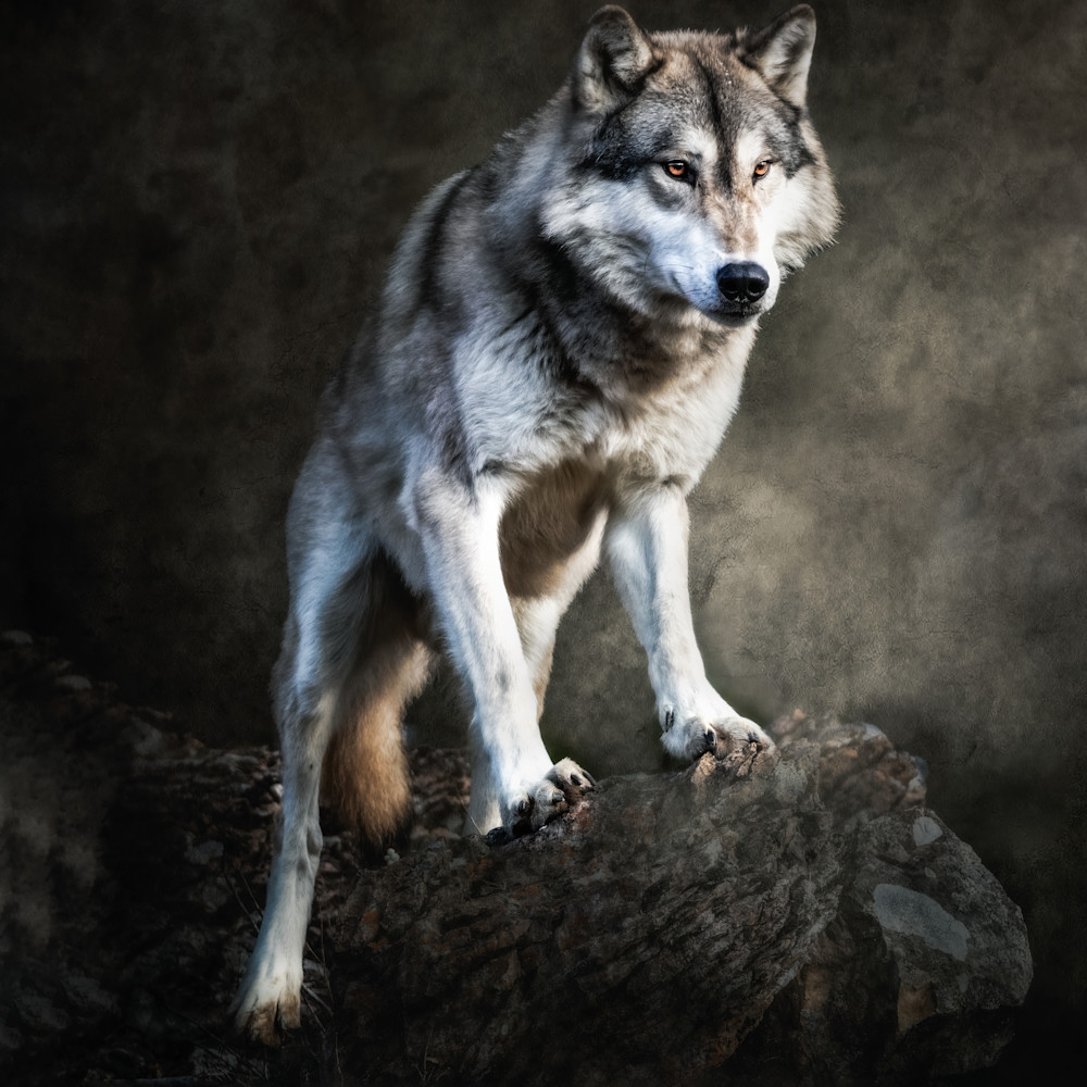 The stare of a tundra wolf 2 aitev8