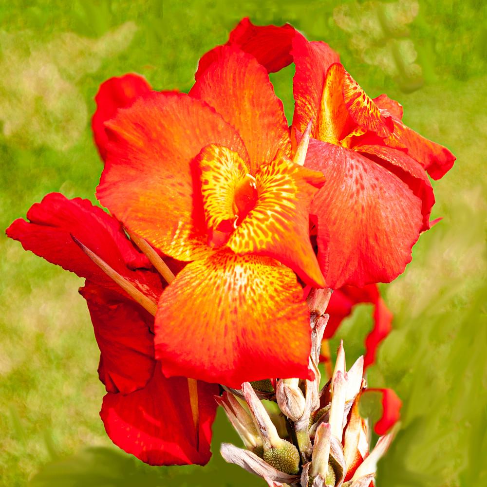 Peruvian lily no sig lbfuqr