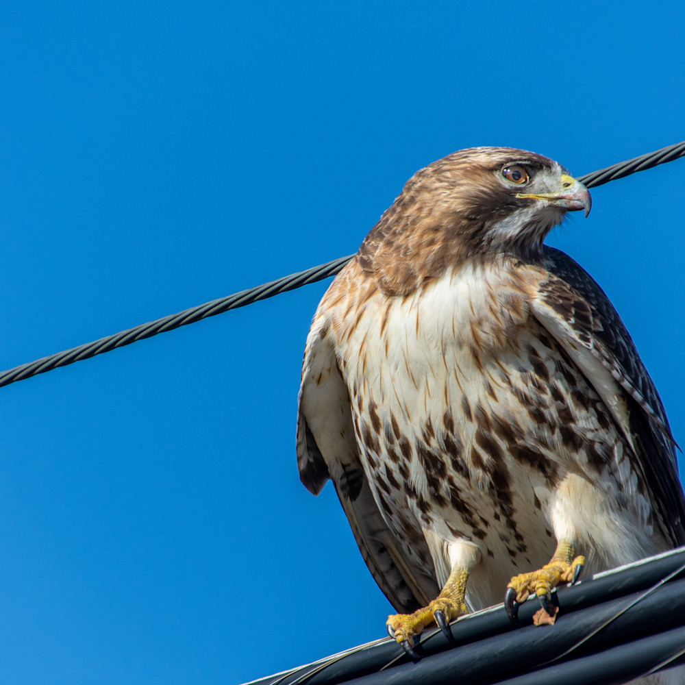 3 3 21 redtail hawk 5 of 7 fyvsab