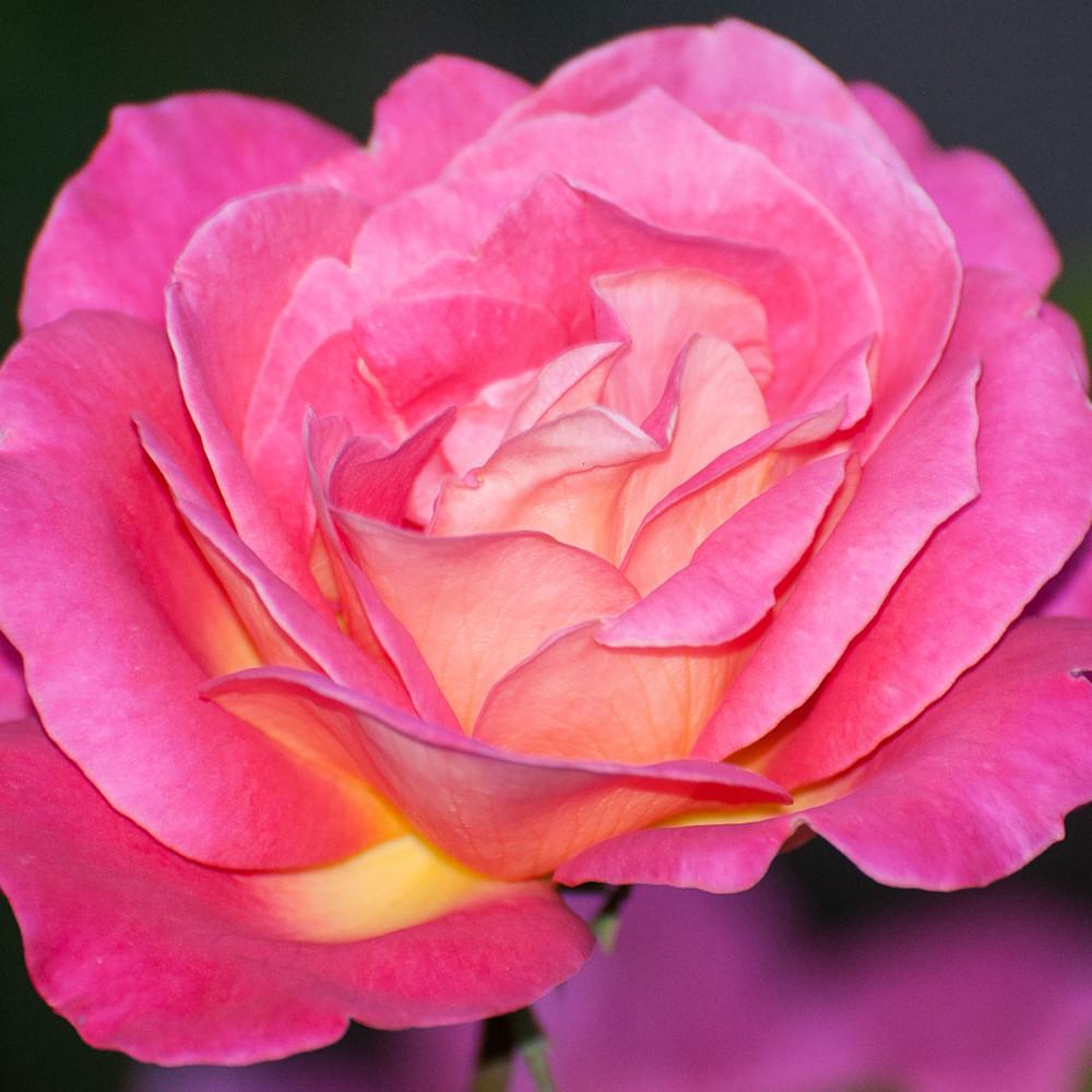 24 x 36 pink roseweb zudfmp