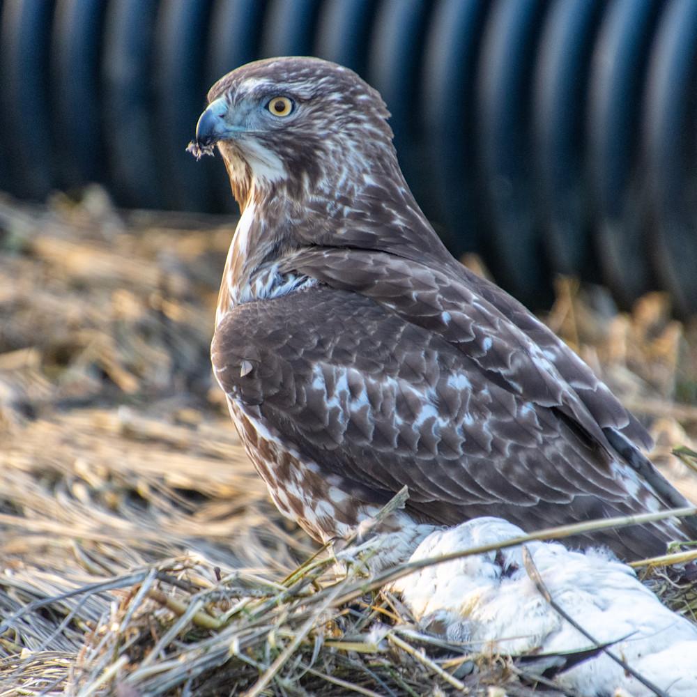3 11 21 hawk on merganser 2 of 8 dgzbf8