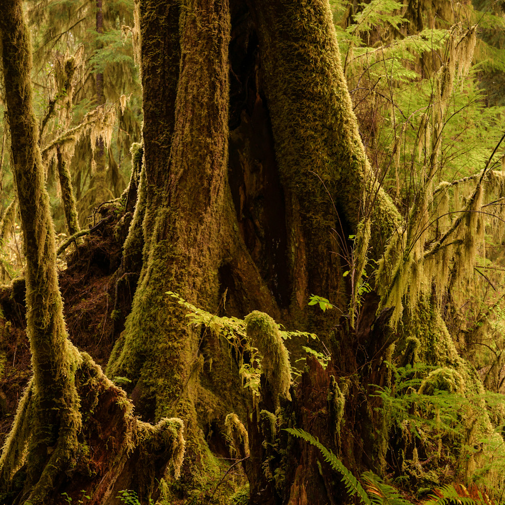 Tree queets river valley olympic national park washington 2020 vcgq26