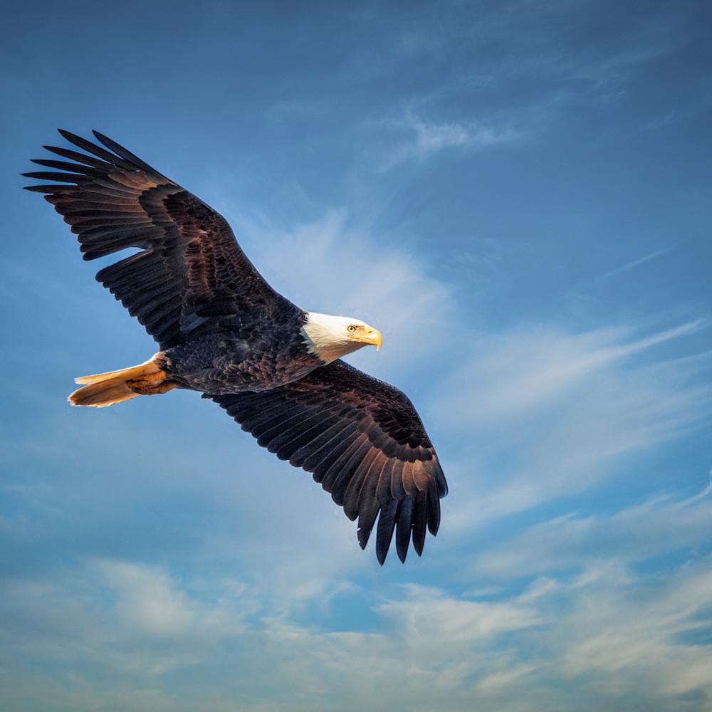 Bald eagle soars over huntley meadows zodrdz