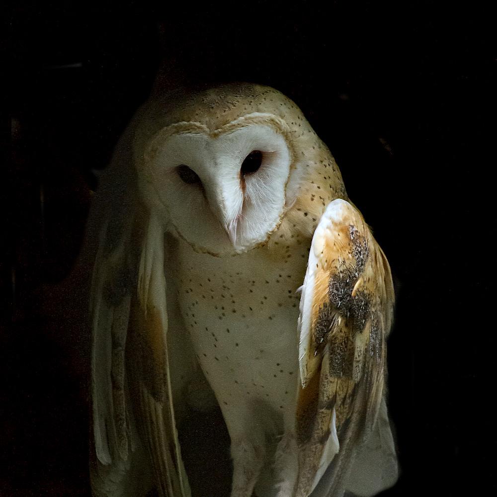Angelic owl dsc 5749 qw57af