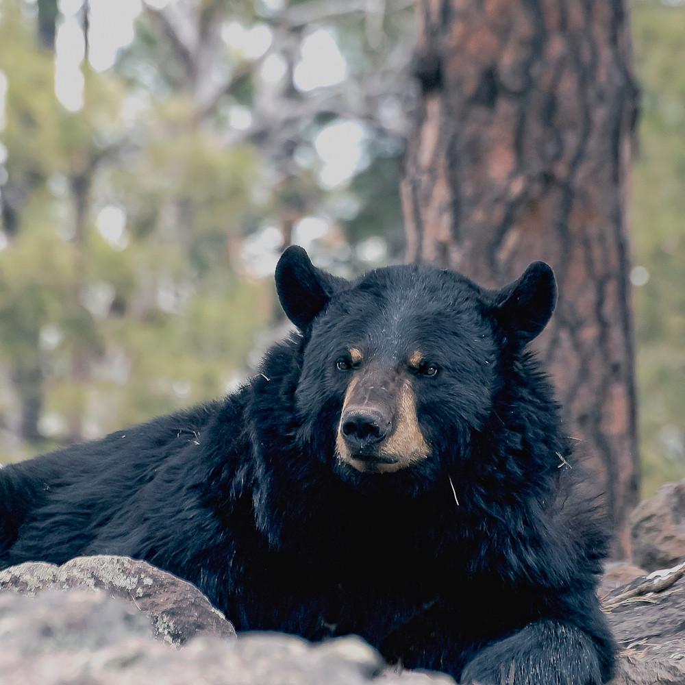 Black bear in rocks lbs 1811 gwpo8f
