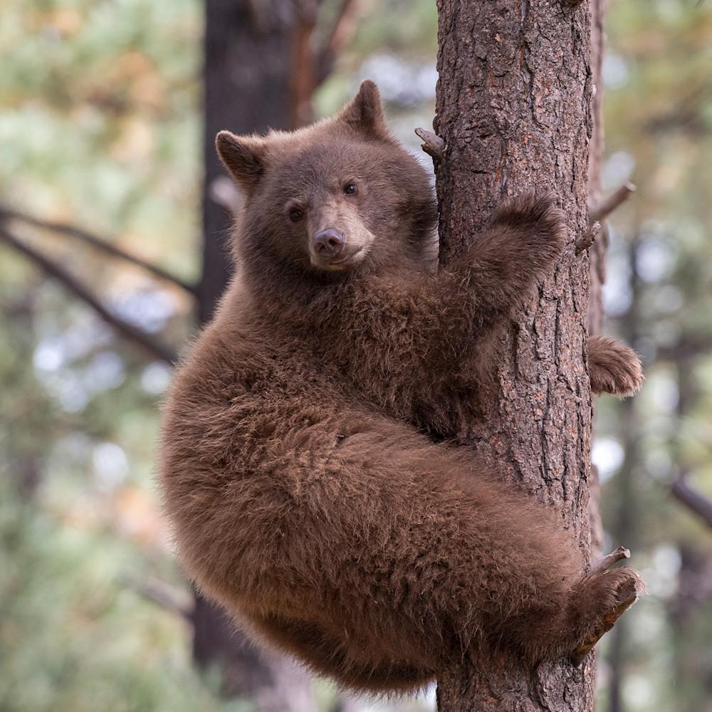 Black bear climbing lbs 4396 vuesfm