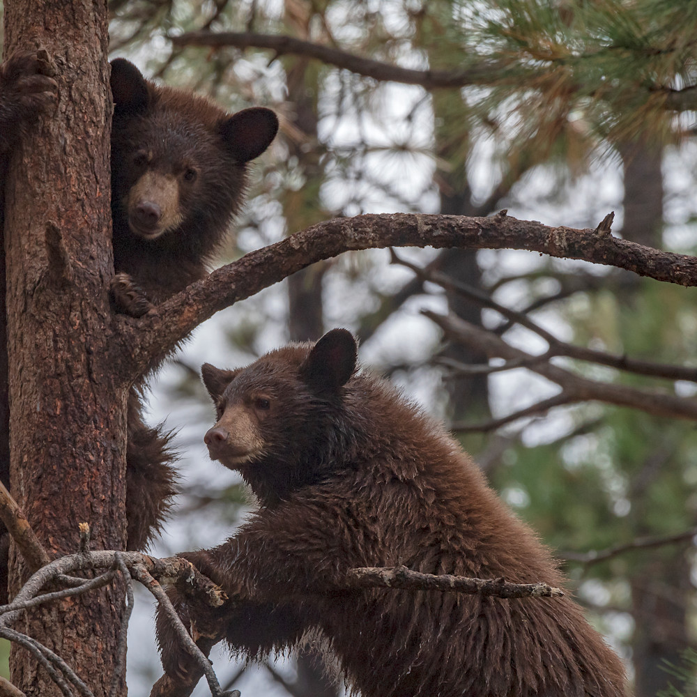 Cub staring two in tree lbs 4325 vhg886