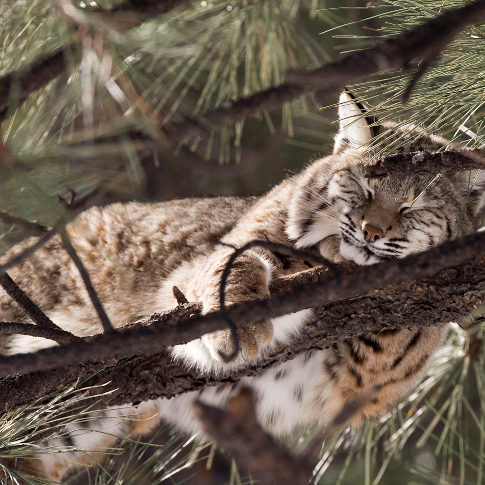 Bobcat napping in tree lbs 5852 hq1uaw