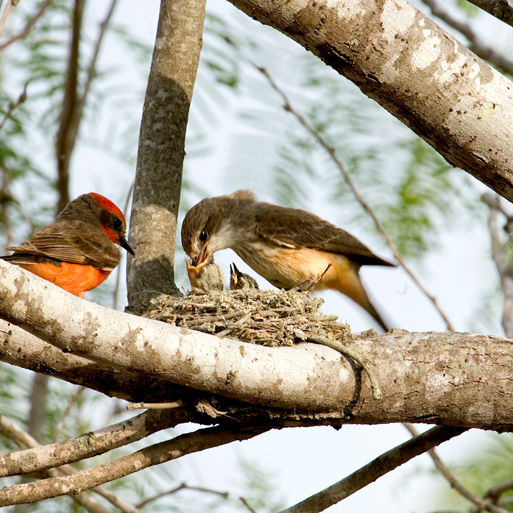Vermillion flycatchers feeding enoyim