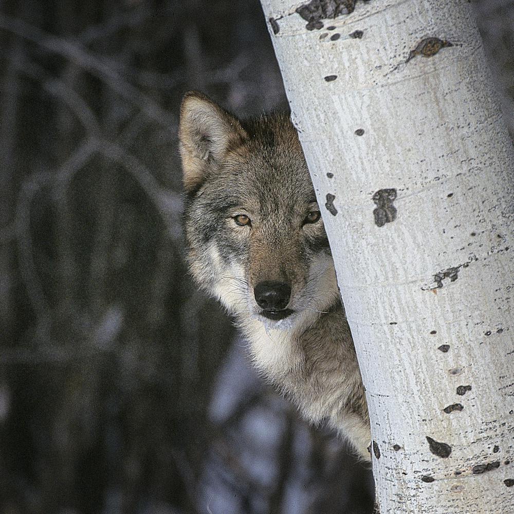 Timber wolf hiding edvx0x