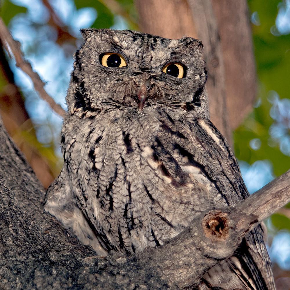 Screech owl watching 0022 dk7hgj