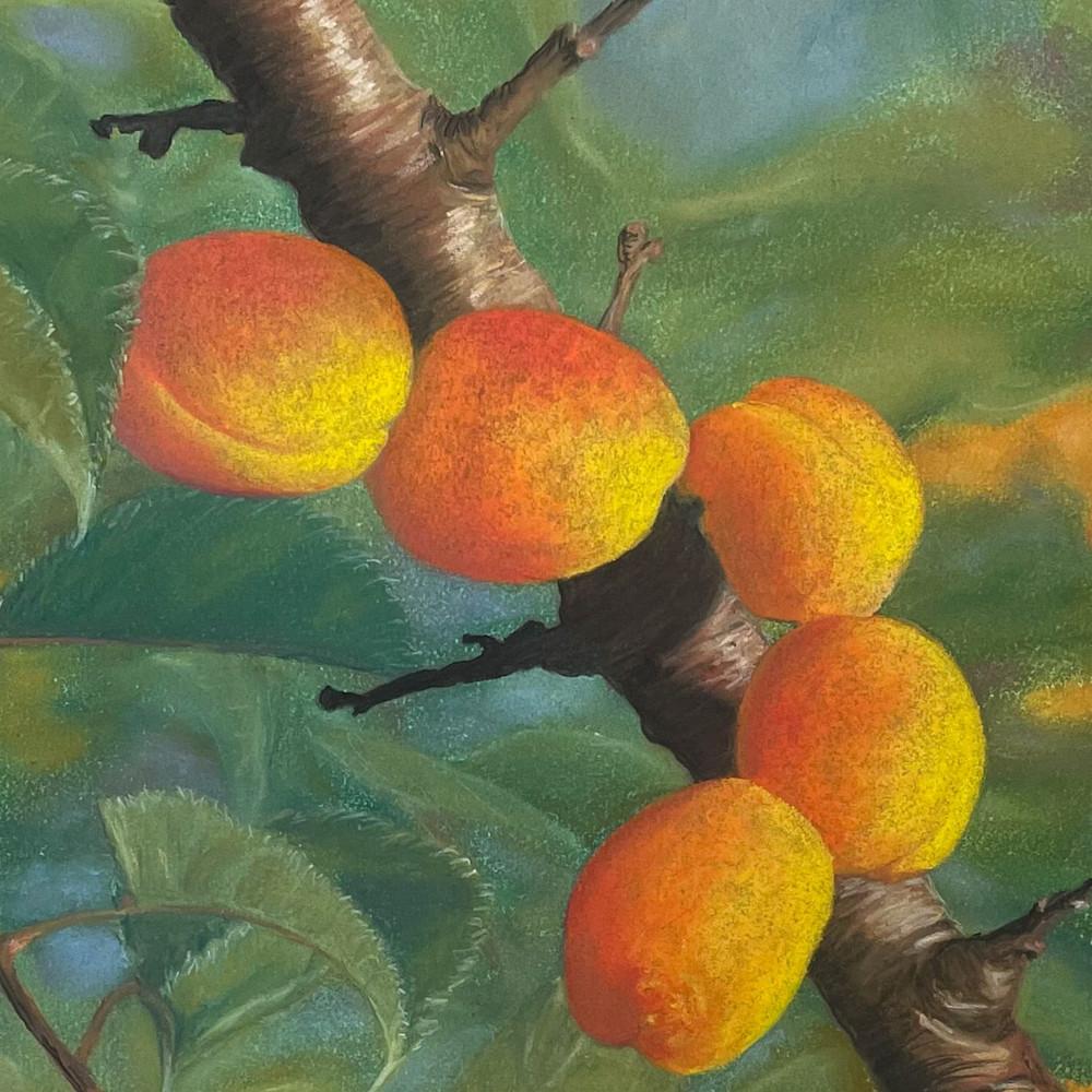 Italian apricots fym0zq
