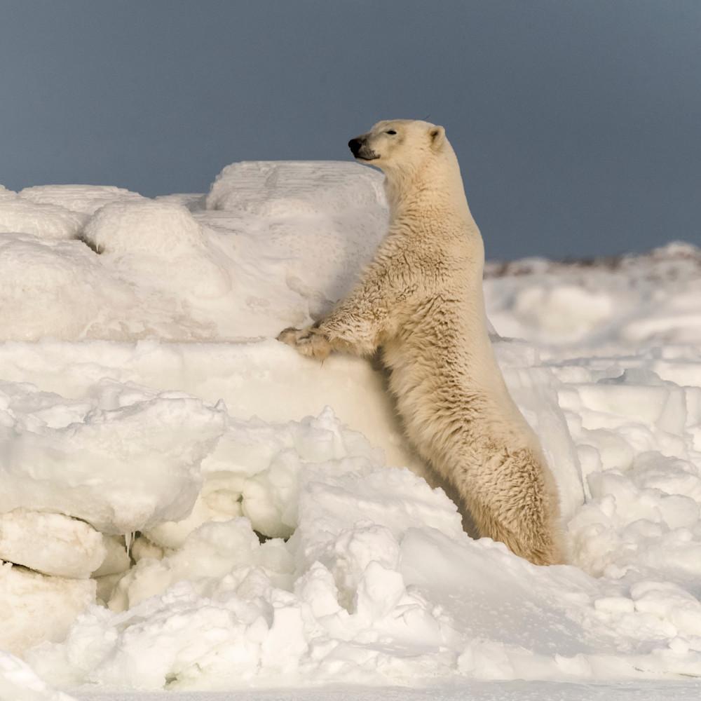Polar bear looking over ice flow yvfqca