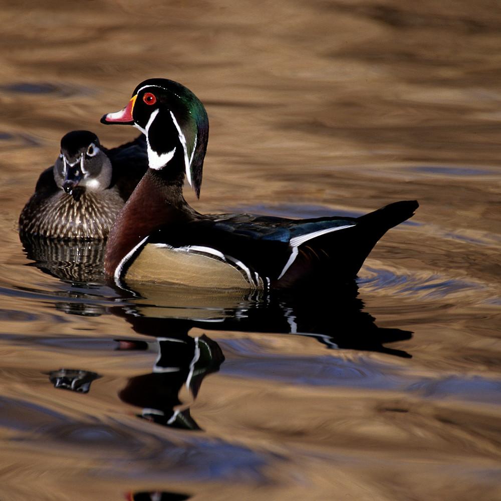The protector wood duck n5xpu2