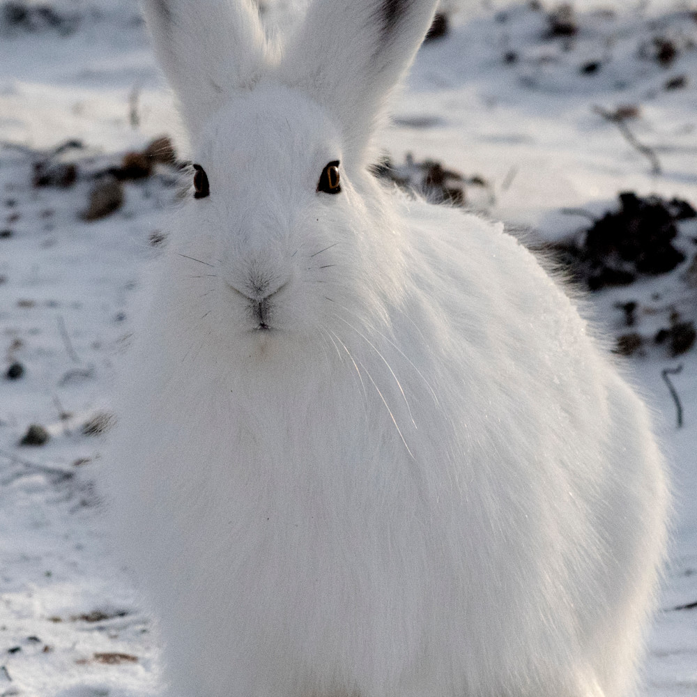 Arctic hare looking fvrnr6
