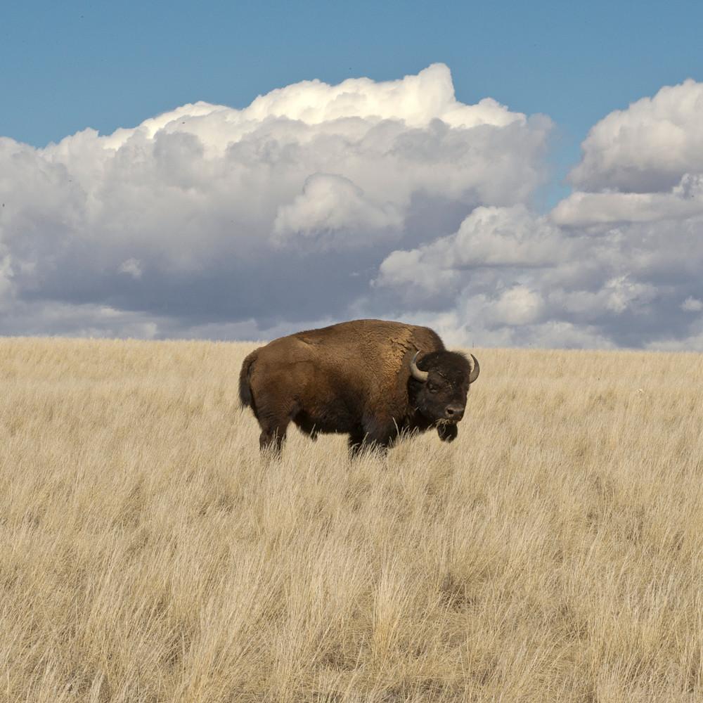 Bison home on the range ktela2