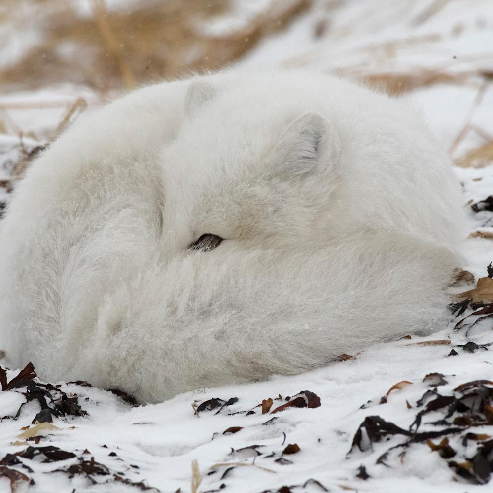 Arctic fox sleeping xkibzf