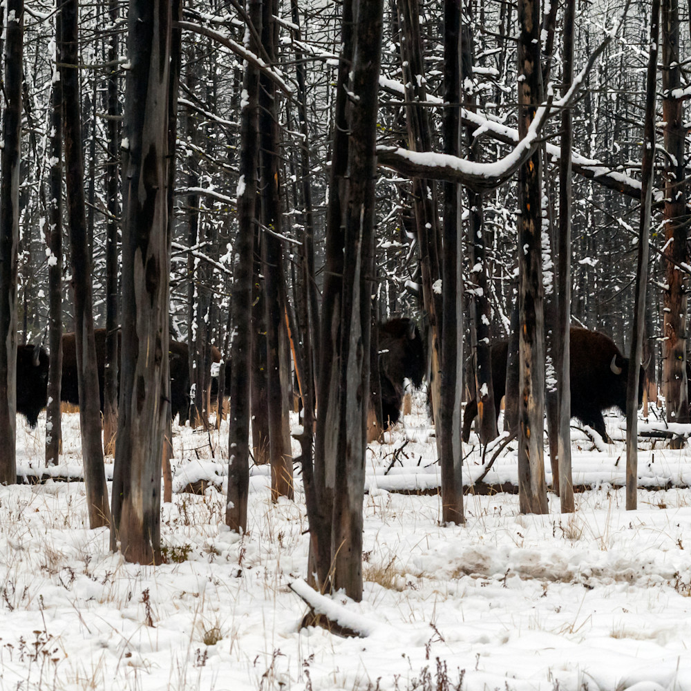 Bison are the shadows ri3slh
