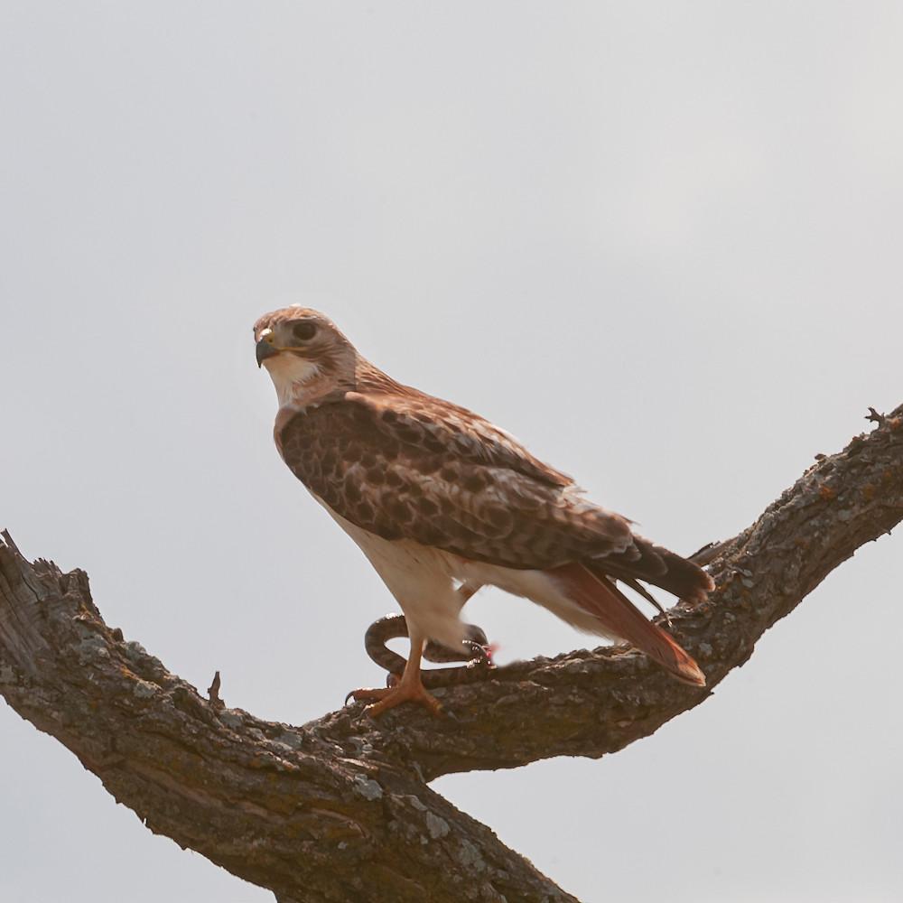 Redtail hawk with snake dsc ih9qir