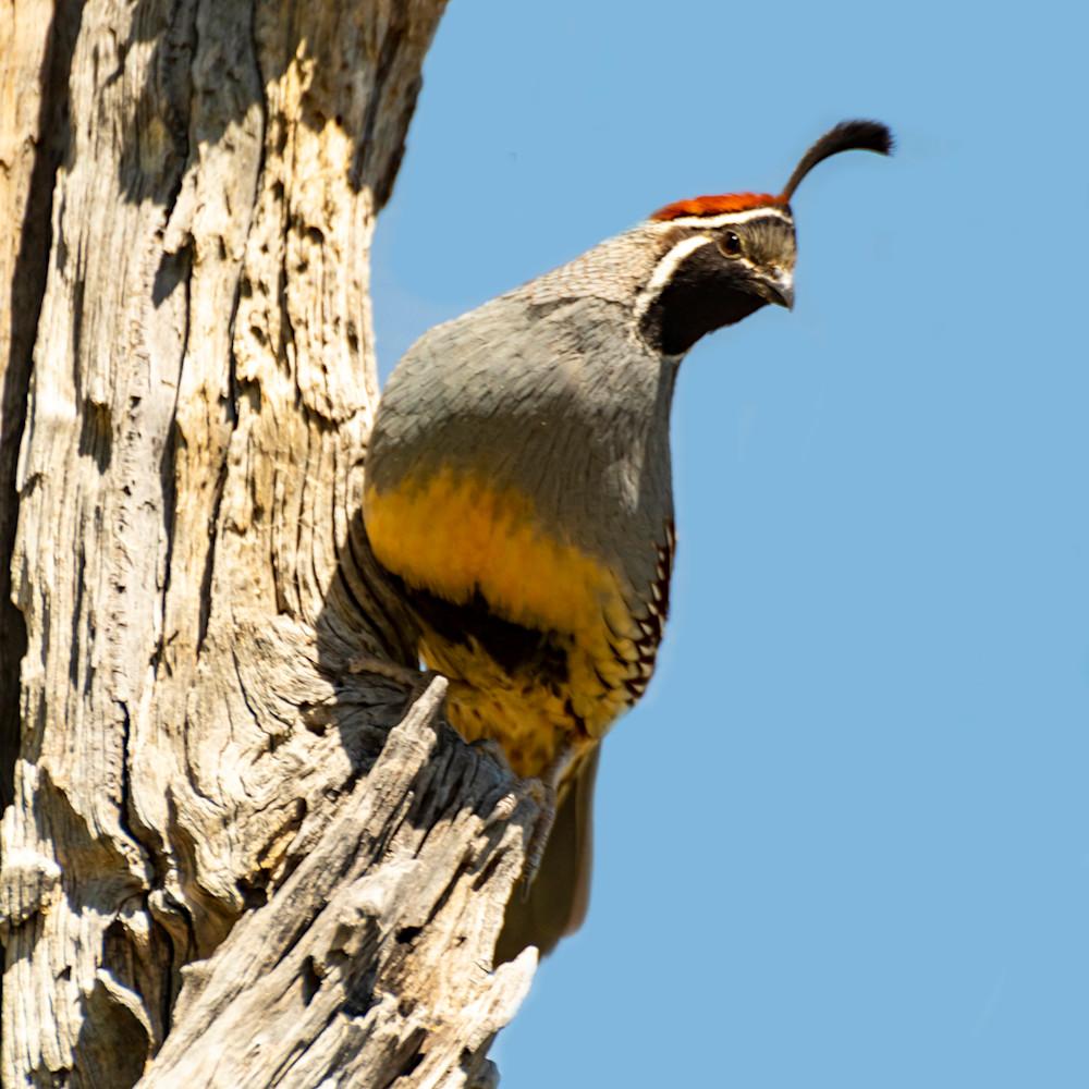 California quail observing u5nee2