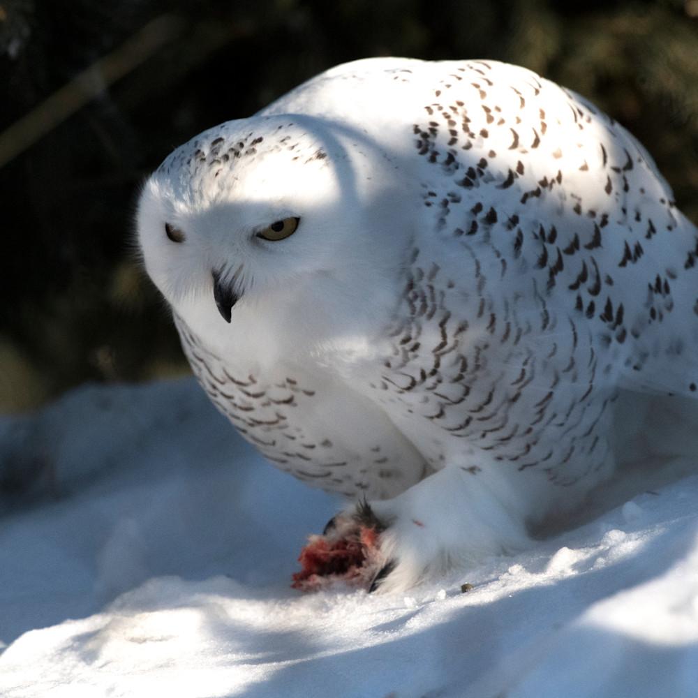 Snowy owl eating hn1pfp