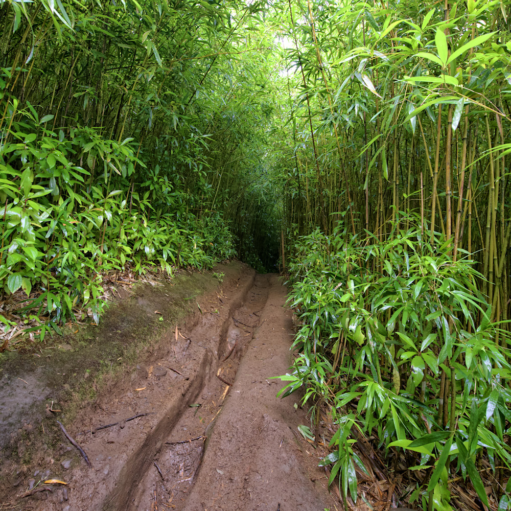 Bamboo forrest imhazk