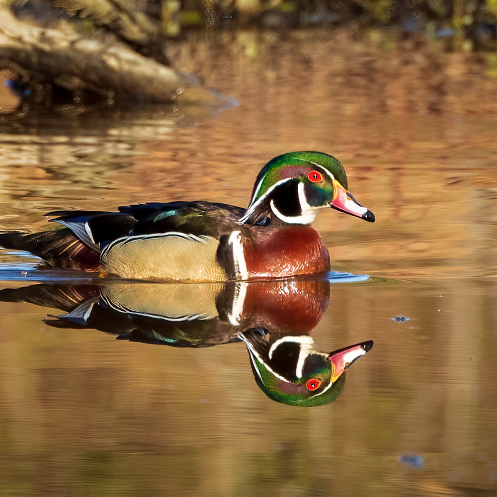 Male wood duck and its reflection teqmmm