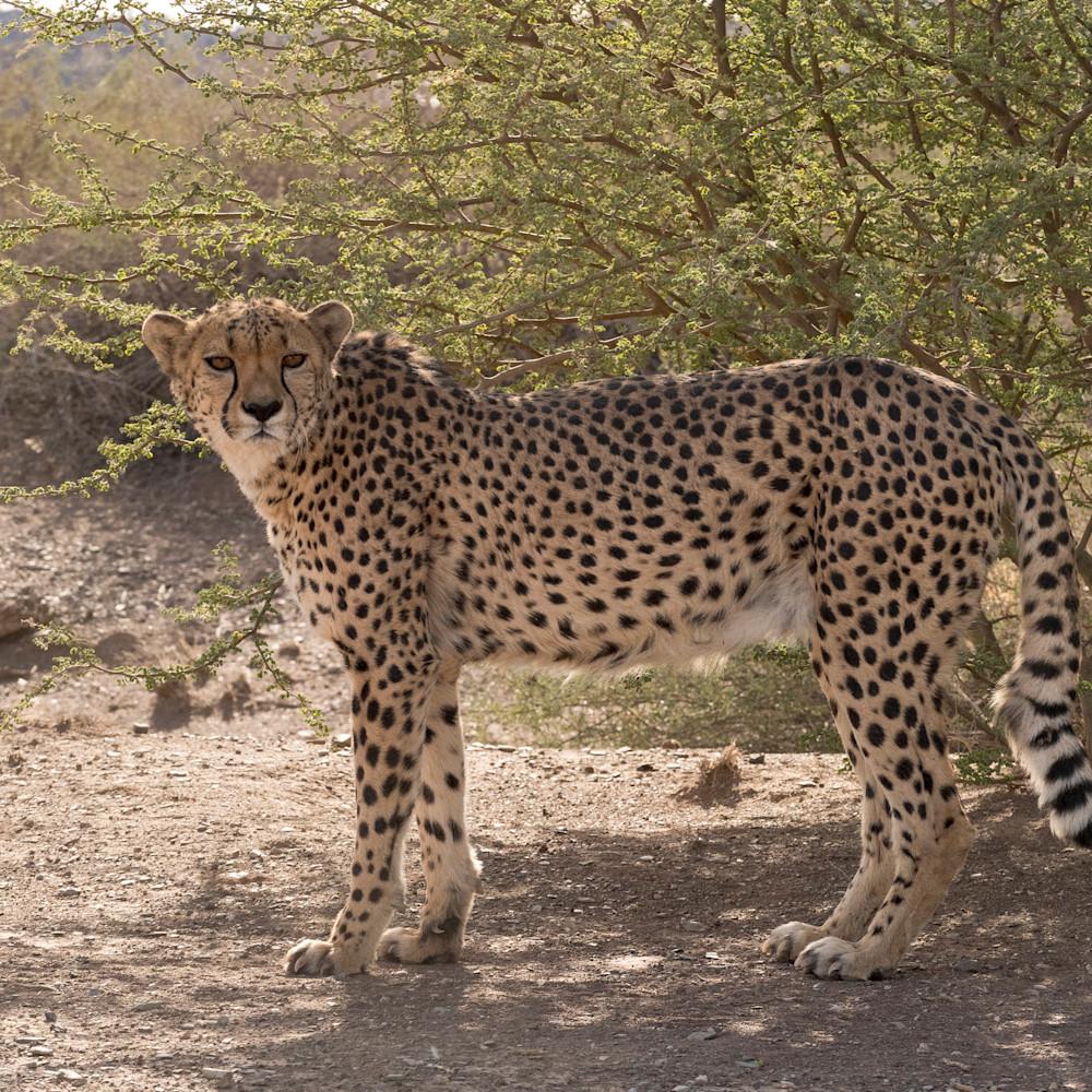Cheetah stare lbs 3859 ldifhh