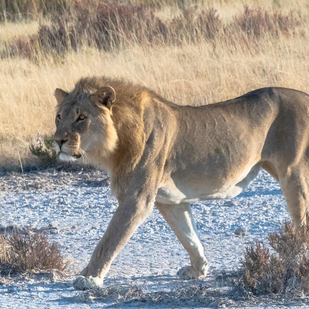 Lion stalking lbs 0832 mljvmp