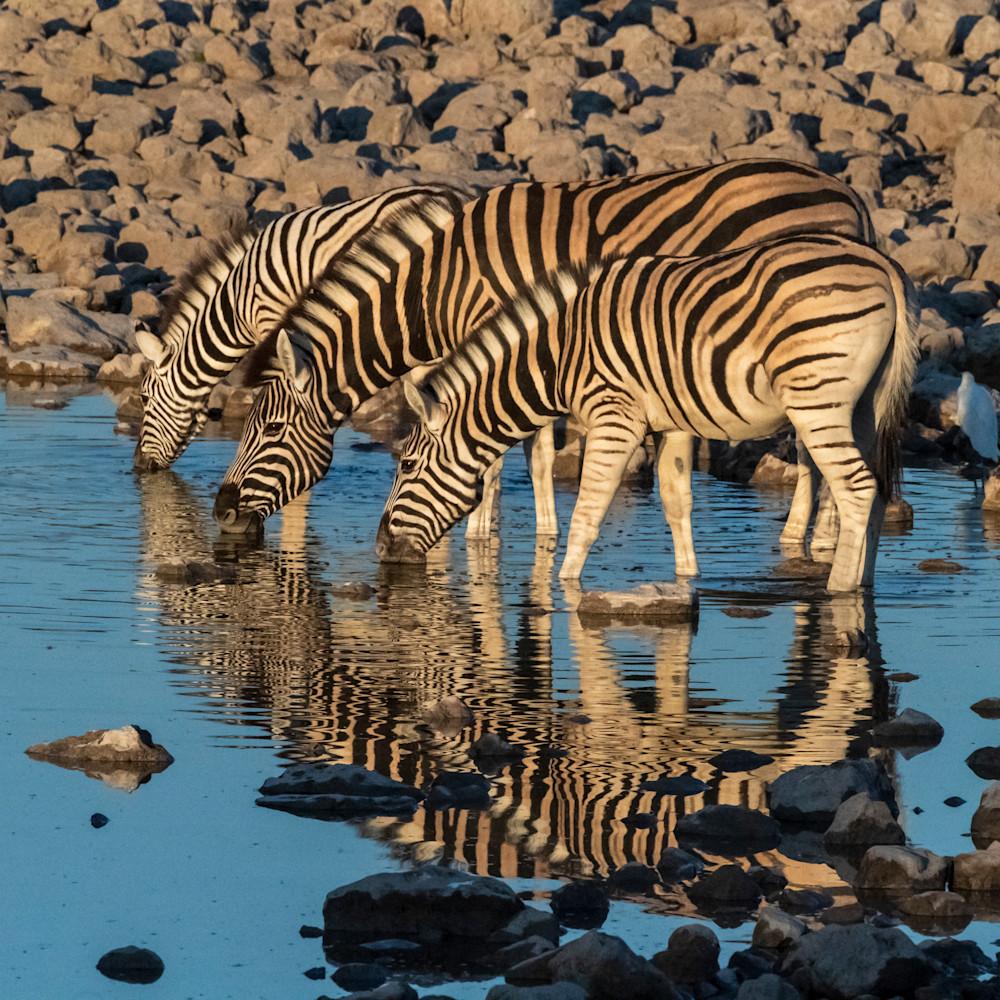Zebras at dawn lbs 8804 qztnv8