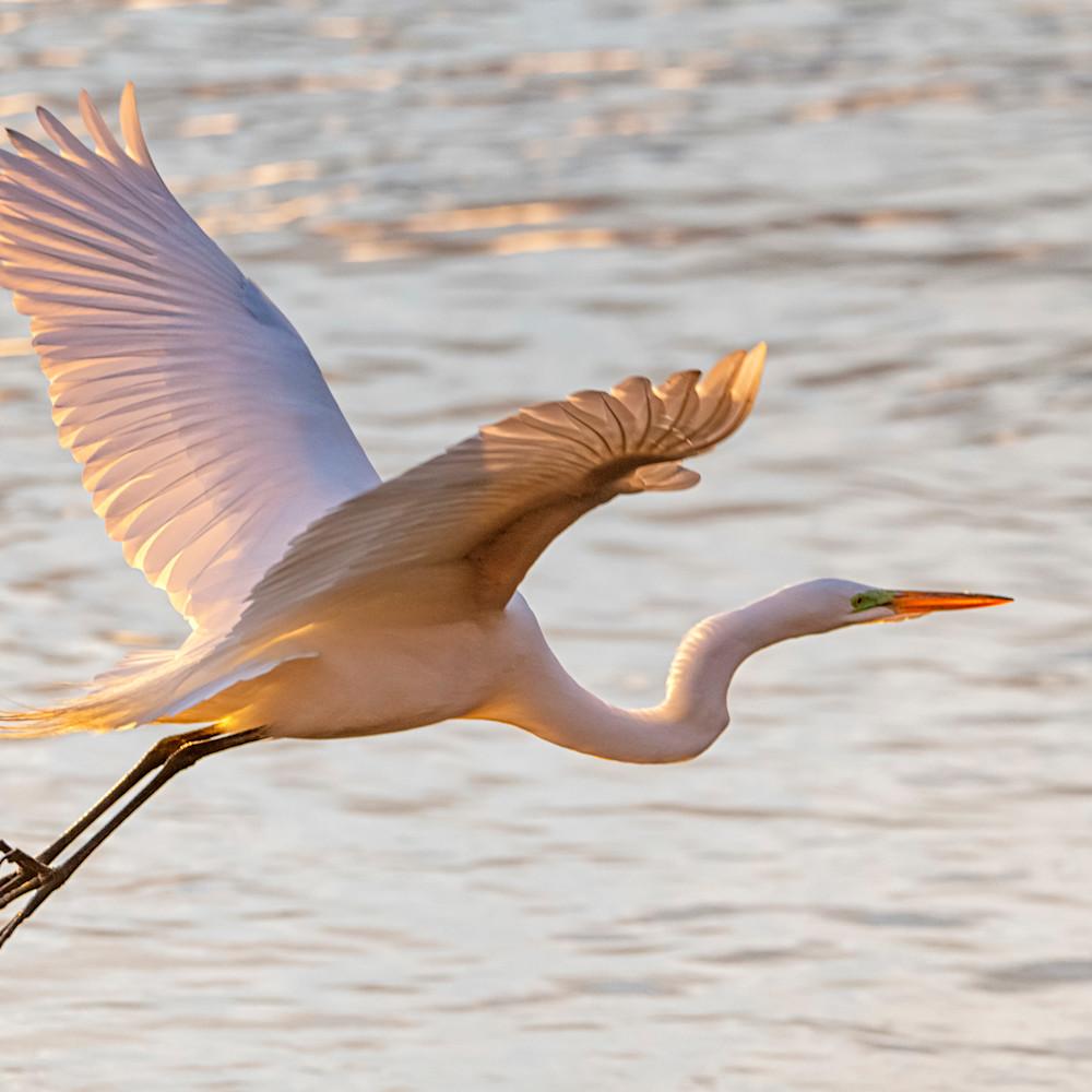 Menemsha egret in flight 2 njkyal
