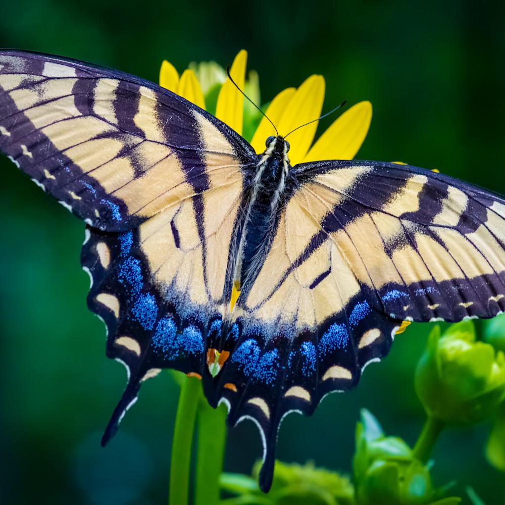 Female eastern tiger swallowtail ivx3j0