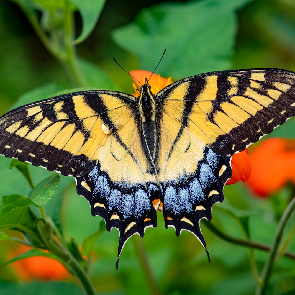 Eastern tiger swallowtail butterfly xl3c6n