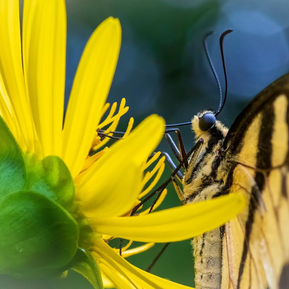 Tiger swallowtail gatheing nectar   side view macro xfa9xl