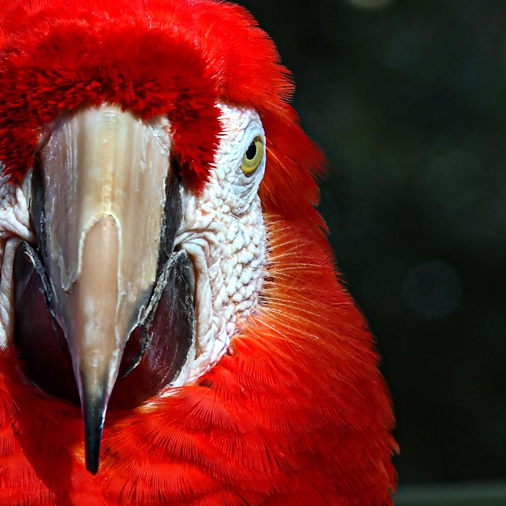 Parrot   red q0bnpt