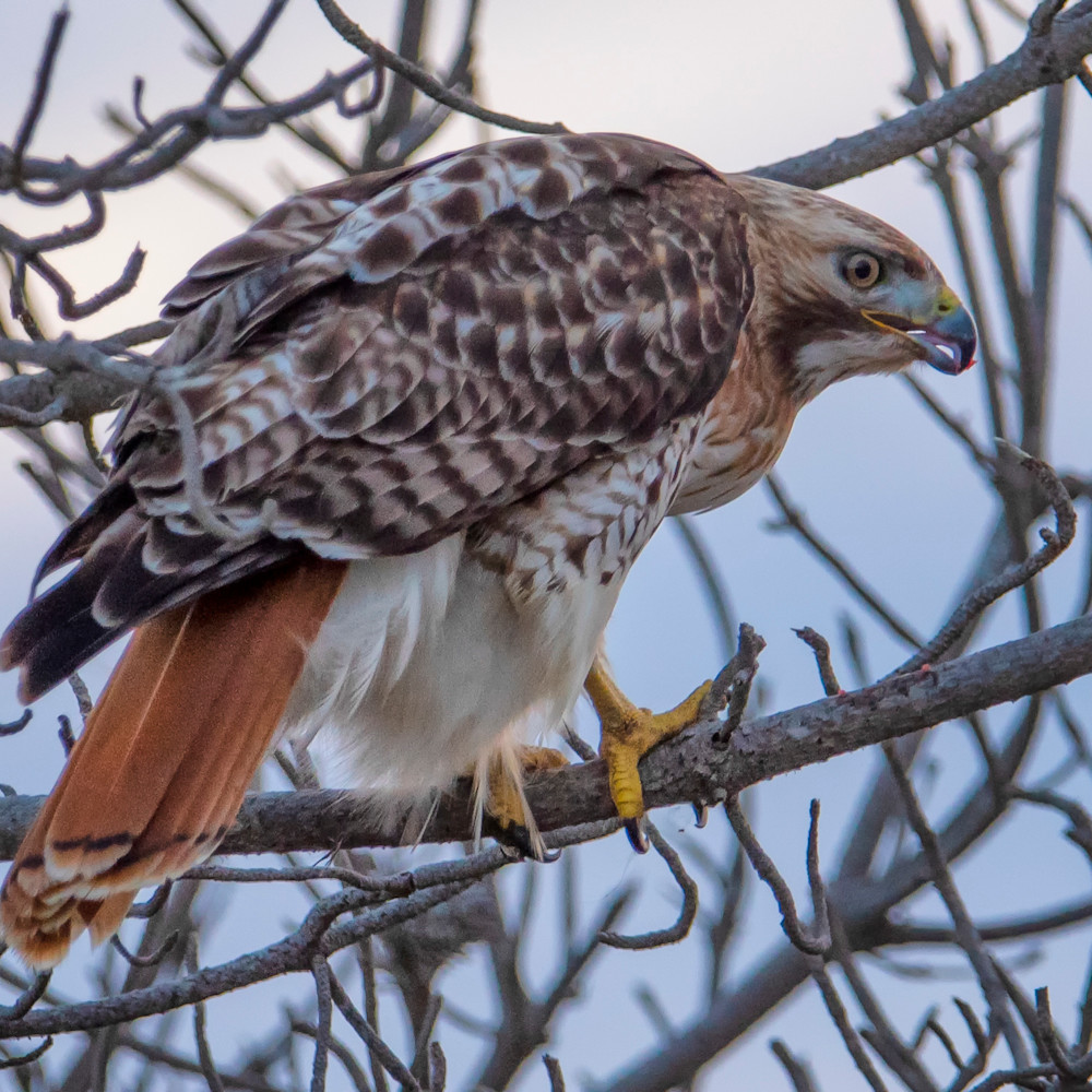 South beach red tail hawk sth8ps
